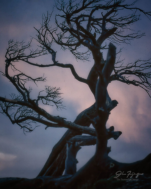 Windswept, The Burmis Tree