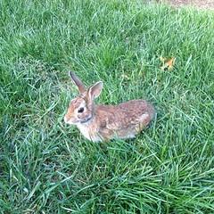 animal, hare, grass, rabbit, domestic rabbit, pet, fauna, wood rabbit, meadow, lawn, rabits and hares, wildlife,