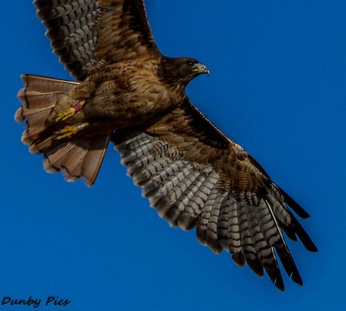 road red hawk tailed petalumamarshal