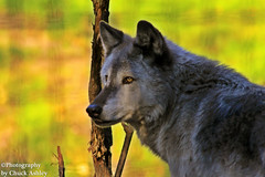 Silver Wolf Alaska Zoo W_7042