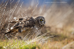 Stanwood Short Eared Owls