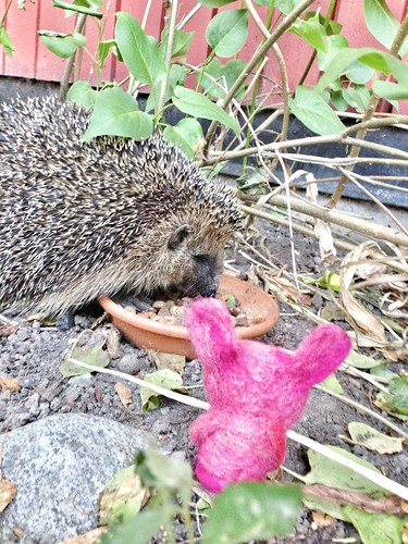 hedgehog meets chubs