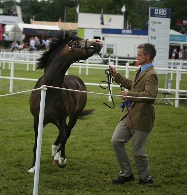 Welsh Ponies