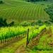 Vineyard 9 by lotti roberto