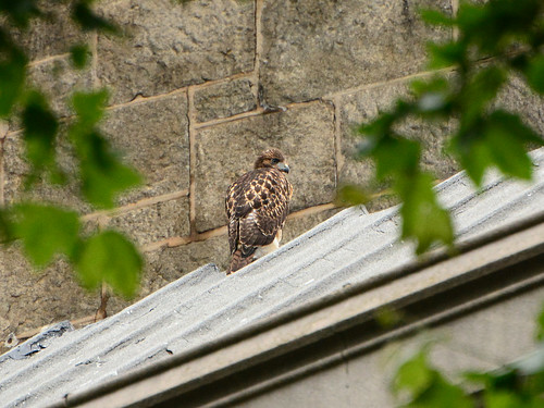Cathedral Hawk Fledgling #2 (2295)