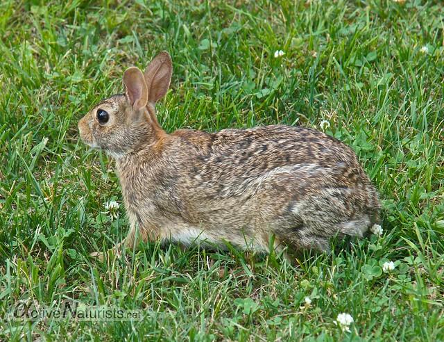 rabbit 0000 Sunny Rest, PA, USA