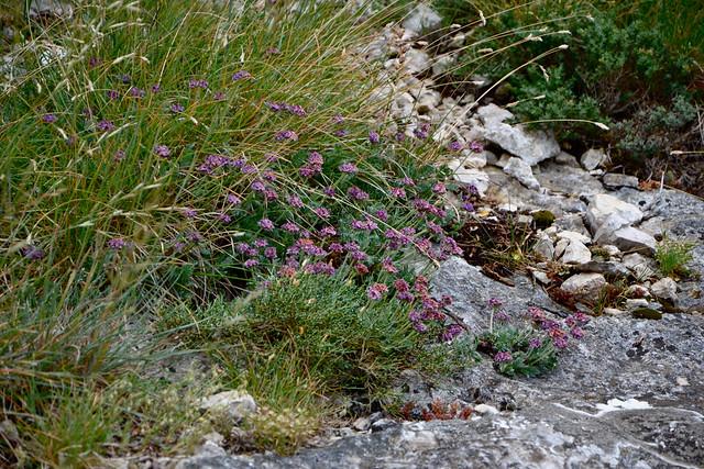 Anthyllis montana L. - vulnéraire des montagnes, anthyllide des montagnes 14441386811_0b2db56929_z