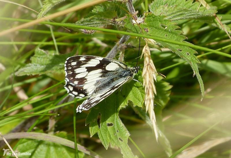 P1080116_2 - Marbled White, Newport Wetlands