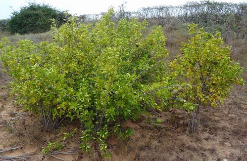 mozambique pemba rubiaceae taxonomy:binomial=phellocalyxvollesenii