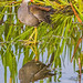 Reflection of a Juvenile Common Gallinule by bananaman33428