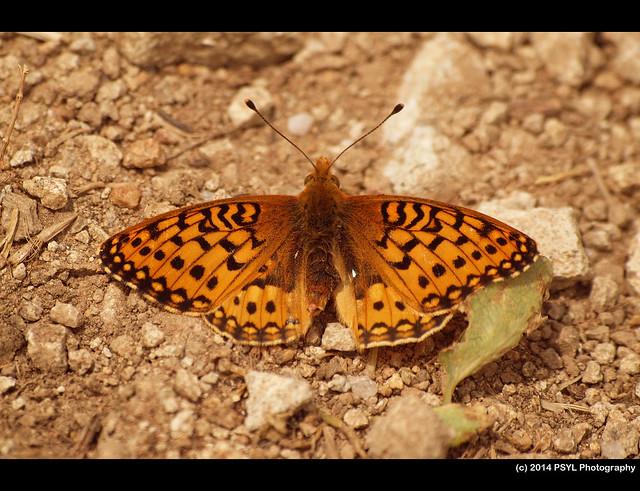 Hesperis Fritillary (Speyeria hesperis)