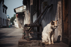senior cat in ancient town
