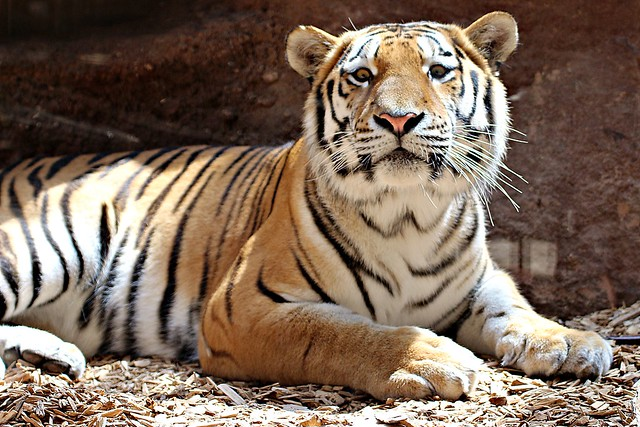 Tiger Samur