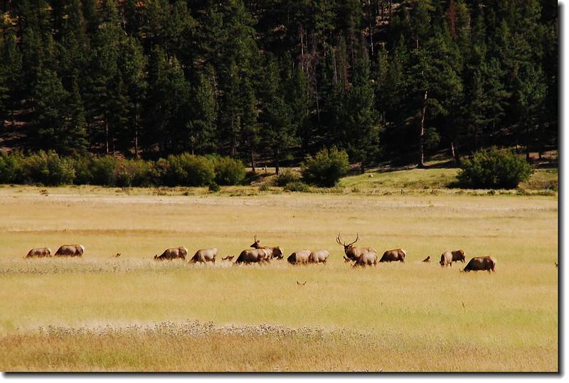 Elks in Moraine Park 6