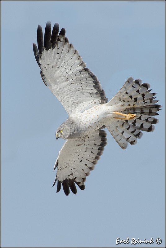 Hawk (Northern Harrier)