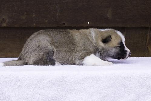 Anya-Litter1-20Days-Puppy7(Male)d