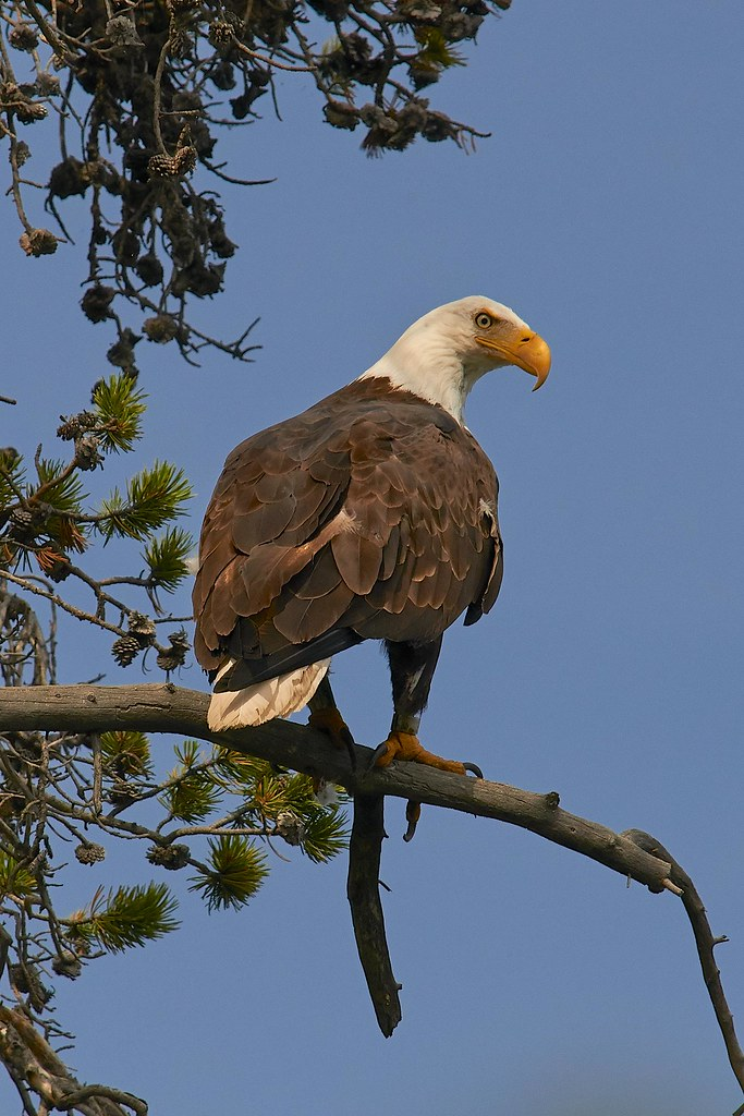 Bald Eagle - Yellowstone National Park