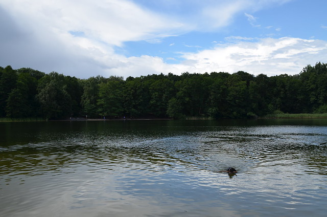 Grunewaldsee Berlin_ dog swimming in lake