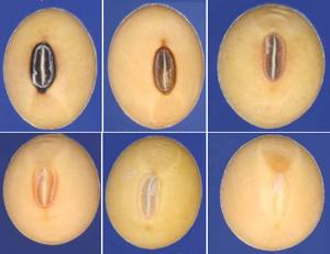 黃豆種臍的顏色。(USDA圖片)