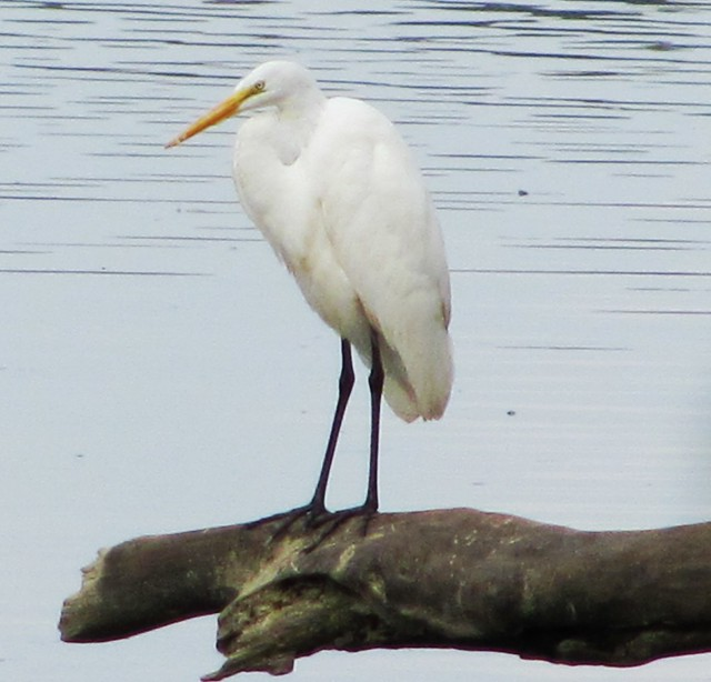 Great White Heron at Mason Neck State Park