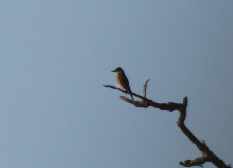 IMG_2594 Olive-sided Flycatcher