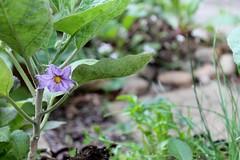 Eggplant fower (green egg)