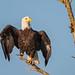 Bald Eagle enjoying the morning sun