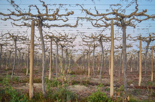 Grape vines of Aussenkehr, Namibia
