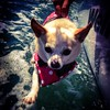 #Cute #puppy walks on water! (Video to come soon) #JesusPuppy #miracle #cuteness #Chihuahua #honey #wtf #PicOfTheDay