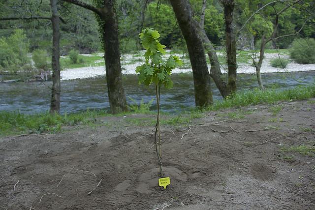 Quercus Robur. Haritza