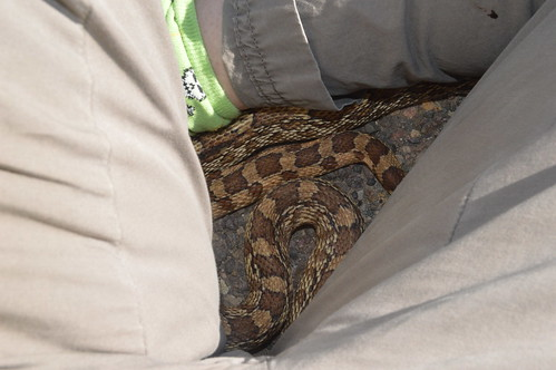 Gopher Snake (Pituophis catinefer)