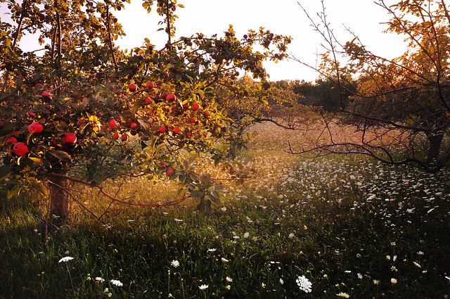 Apples and Queen Anne's Lace