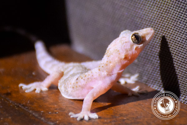 Pink Gecko Brazilian Amazon