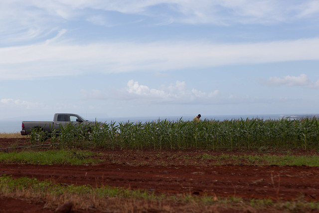 A GM corn field in Kauai