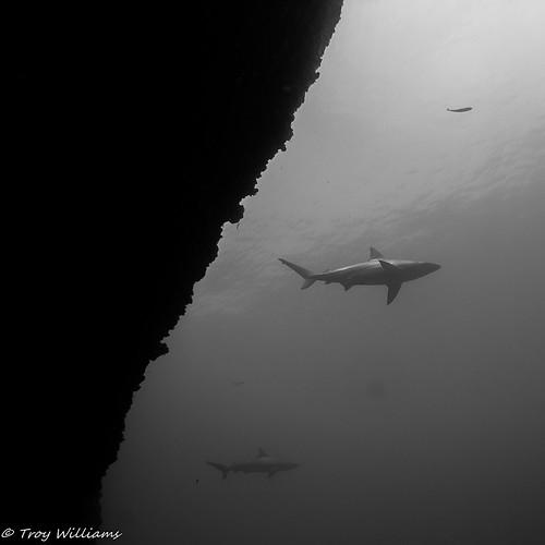 SL1-UW-SHARK BW