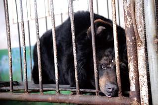 目前已知熊的人工繁殖尚未有成功案例,仍是捕捉野生族群進行引流。圖為被活取熊膽的熊,關在鐵籠裡。圖片來源:黑熊保護志願者。