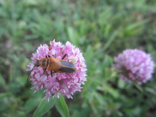 A beetle on clover