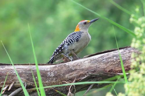 texas woodpeckers goldenfrontedwoodpecker bentsenriograndevalleystatepark canonsx50