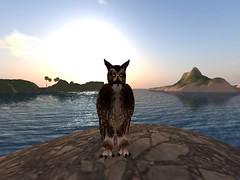 Owl on the isle