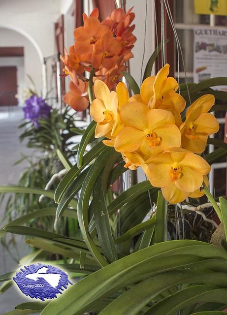 II Encuentro de aficionados a las orquídeas del País Vasco - Vanda