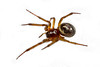 Black Widow Spider 7011