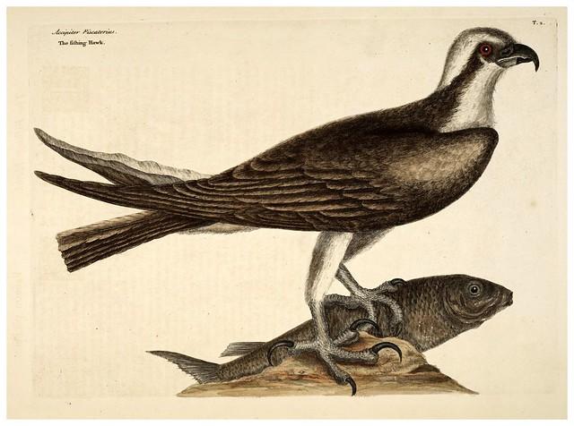 001-Halcon pescador-Natural History of Carolina, Florida and the Bahama Islands-Vol1-1754