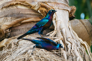 Greater Blue-eared Glossy Starling (Lamprotornis chalybaeus)