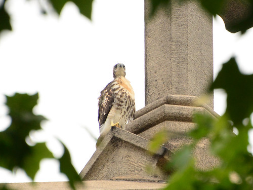 Cathedral Hawk Fledgling (14460