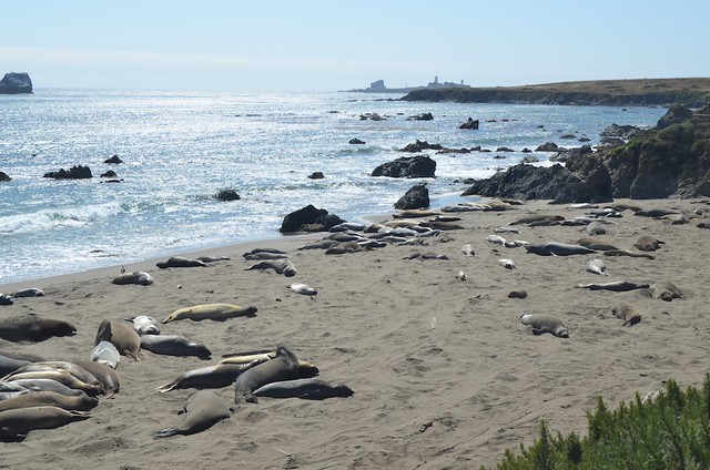 Elephant Seal Rookery + Piedras Blancas Light Station
