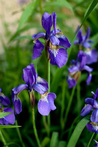 DSC_8914 irises