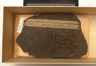 Osmia (Melanosmia) inermis (Zetterstedt, 1838)