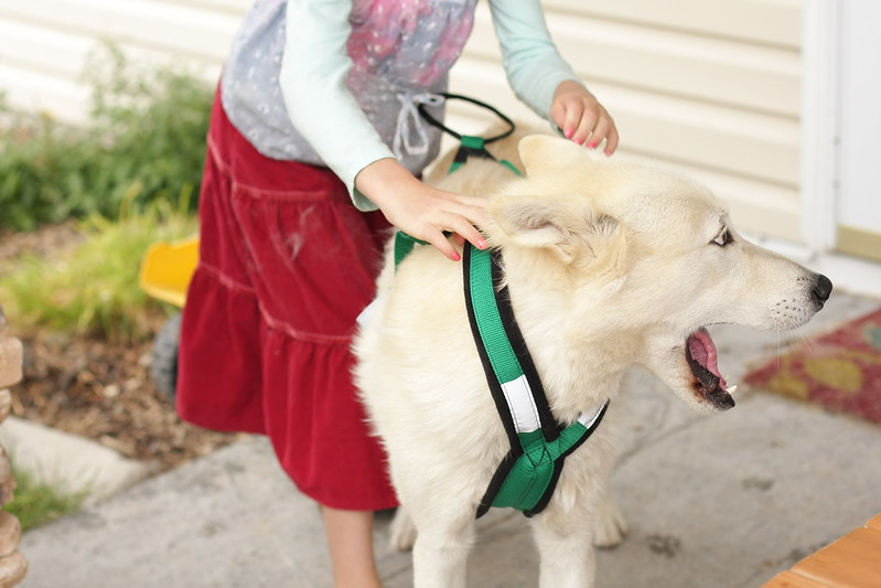 Beowulf trying on his new bikejoring sled dog harness [pics by my 8-yr old daughter] 14306928569_32ca4e33b5_c