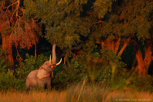 wild elephant nature forest sunrise feeding reaching wildlife botswana elefant tusks olifant éléphant loxodontaafricana okavangodelta specanimal hvhe1 hennievanheerden specanimalphotooftheday