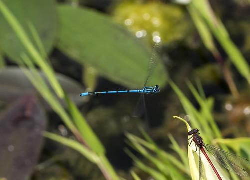 common blue damselfly 384  (15)